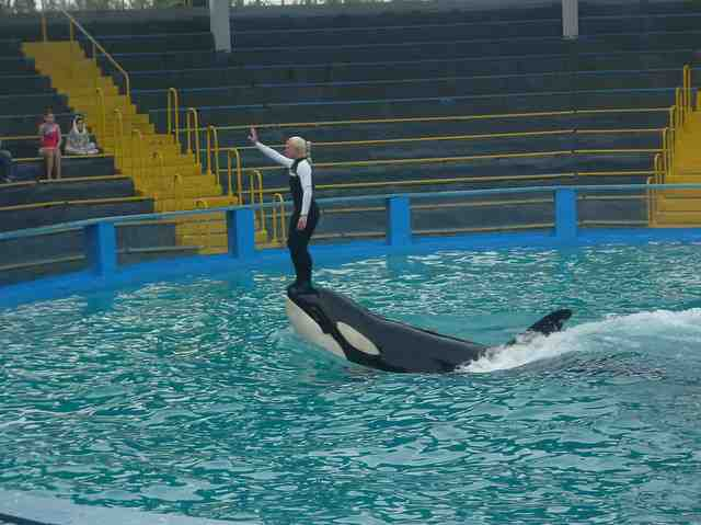 Lolita and unidentified trainer perform at Miami Seaquarium, Feb 12 2010/tilliluver, flickr.com