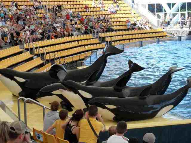 Keto, Kohana, Tekoa & Skyla, all born at SeaWorld parks, performing at Loro Parque in the Canary Islands, where they were all shipped in February 2006, undated/sealife-adventure.webs.com