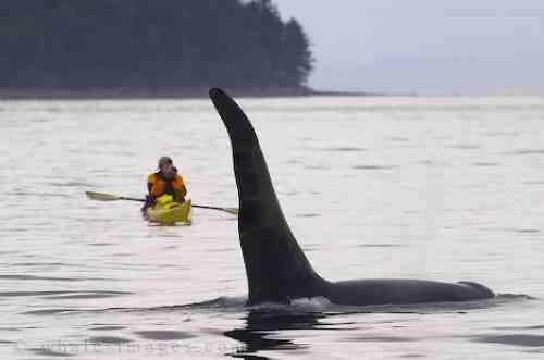 Orca & kayaker, Johnstone Strait, BC/whale-images.com
