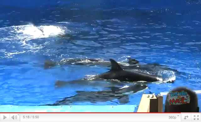 "Orcas swim during a moment of downtime as Spencer Lee performs ""One Song"" during premiere of ""One Ocean,"" SeaWorld Orlando, April 22 2011, image from video/InsideTheMagic, youtube.com"