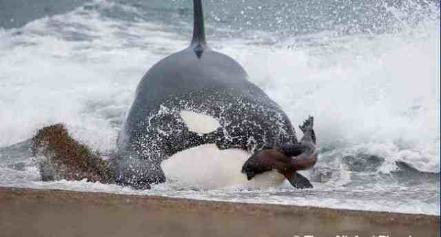Killer whale attacks sea lion on beach in SouthAmerica, undated/Theo Allofs, Biosphoto, Arkive, arkive.org