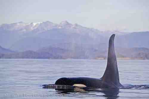Male killer whale off Vancouver Island, British Columbia, undated/whale-images.com
