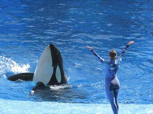 "Unidentified orca & trainer perform in debut of ""One Ocean,"" SeaWorld Orlando, April 22 2011/InsideTheMagic, InsideTheMagic.net"
