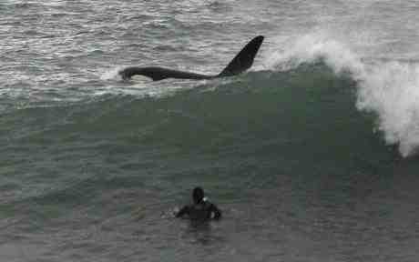 Surfer Craig Hunter shares waves with an orca, Taranaki, New Zealand, Jan 2009/AP, The Telegraph, telegraph.co.uk