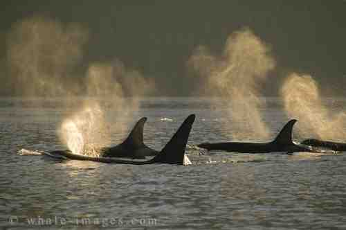 Killer whale family, location & date unknown/whale-images.com