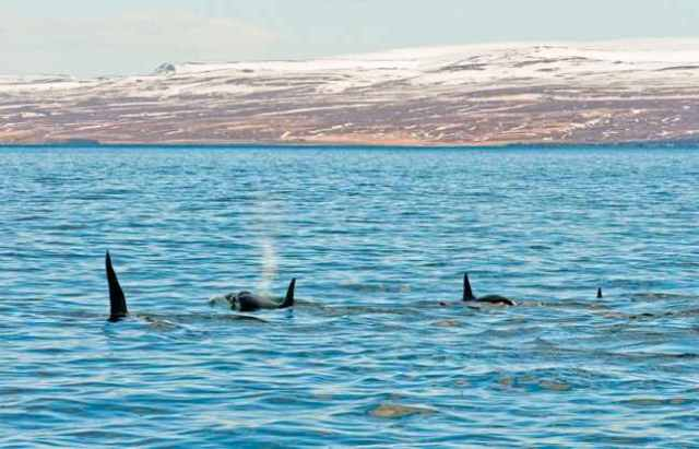 Killer whales off Husavik, Iceland, April 6 2011/Whale Watching with North Sailing, whalewatchinghusavik.is