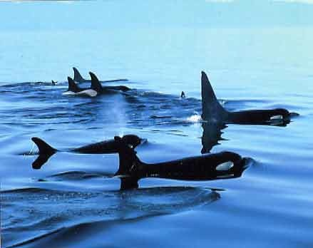 Killer whales, location and date unknown/courses.washington.edu