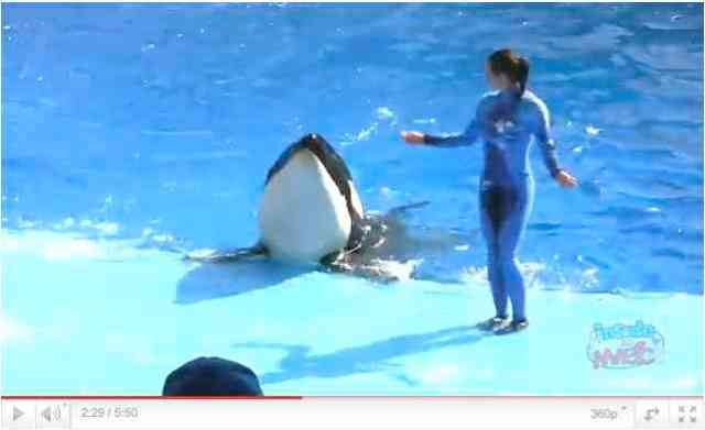 "Unidentified trainer and orca do a wiggle at tank edge during premiere performance of ""One Ocean,"" April 22 2011, image from video/InsideTheMagic, youtube.com"