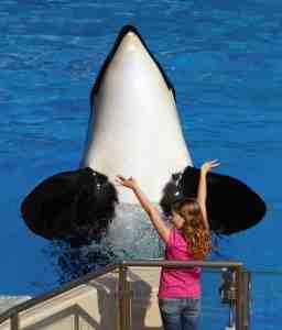 Child gives command to anonymous Shamu, SeaWorld San Diego, undated/travelingdiva.com