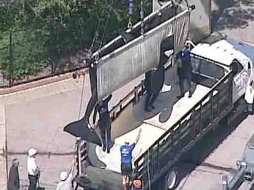 Body of 12-year-old captive-born killer whale Sumar is lifted onto truck after his sudden death at SeaWorld San Diego on Sept 7, 2010/10 News, signonsandiego.com