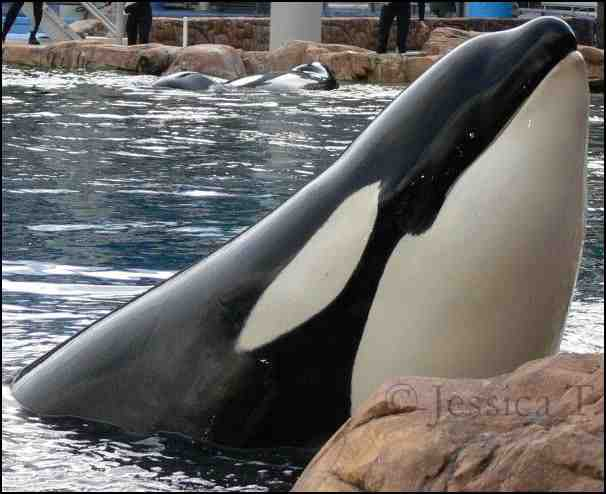 Taima before her death, SeaWorld Orlando, undated/Jessica T., freewebs.com