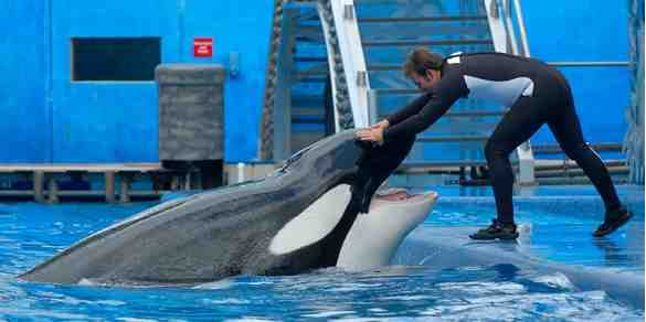 Tilikum & unidentified trainer, SeaWorld Orlando, October 4 2008/orcalover109, outdoors.webshots.com