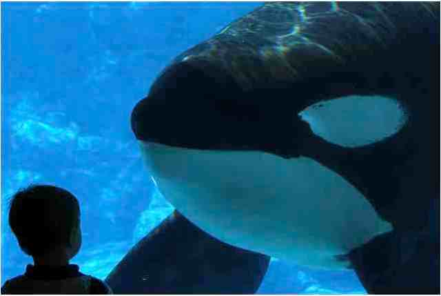Tilikum and young visitor regard each other, SeaWorld Orlando, Sept 15 2010/TheTucuxi Meaghan, flickr.com