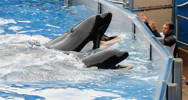 Tilikum and companion at side of pool on day of Tilikum's return to performing, March 30 2011/Gerardo Mora, Getty, msnbc.msn.com