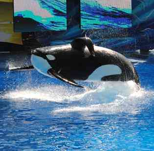 "Tilikum performs in debut of ""One Ocean,"" SeaWorld Orlando, April 22 2011/Orlando Business Journal, bizjournals.com"