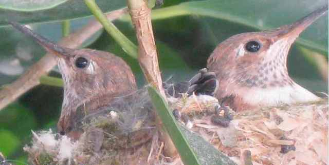 Baby hummies in the nest, Nichols Canyon, Los Angeles, April 2010/Larry Grobel