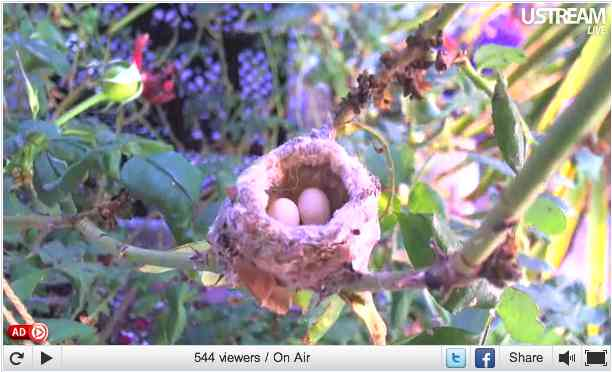 Channel Island Hummingbird eggs in nest, Orange County, CA, May 29, 2011/Pungh0li0, USStream Mobile, usstream.tv