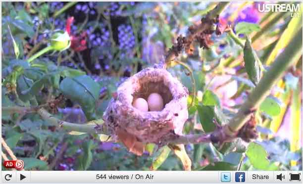 Channel Island Hummingbird eggs in nest, Orange County, CA, May 29, 2011/Pungh0li0, USStream Mobile, usstream.tv