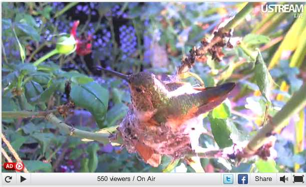 Phoebe, a Channel Island Allen Hummingbird on her nest in Orange County, CA, May 29, 2011/Pungh0li0, USStream Mobile, usstream.tv