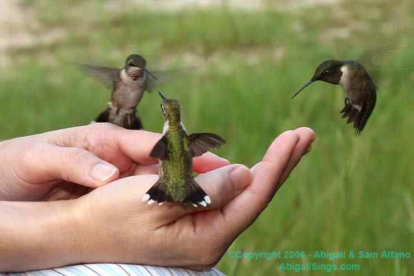 Abigail Alfano hand-feeds hummingbirds, Franklinton, LA, Sept 14 2006/Sam Alfano, AbigailSings.com