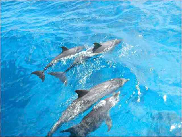 Spotted dolphin mothers and calves, Bahamas, July 13, 2011/Kaitlin Marsh