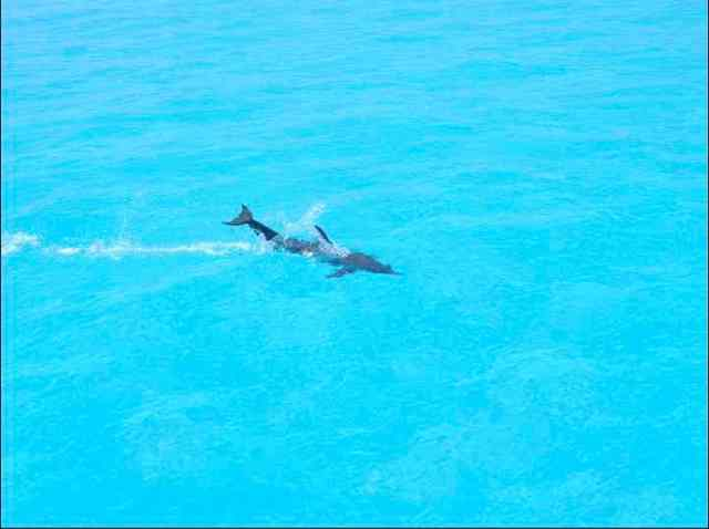 Spotted dolphin tail-slapping at surface, Bahamas, July 13, 2011/Kaitlin Marsh