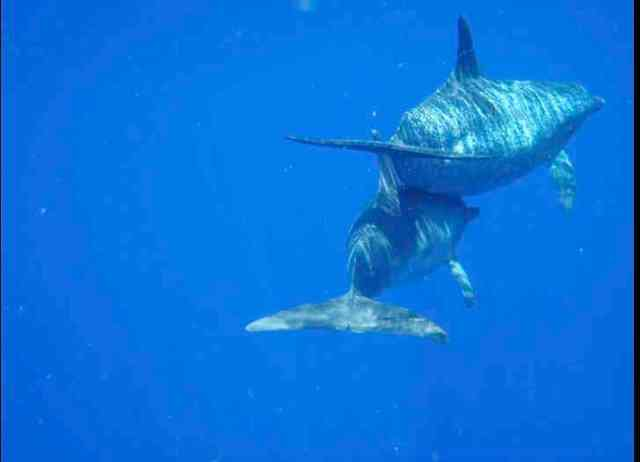 Spotted dolphins, Bahamas, July 13, 2011/Kaitlin Marsh