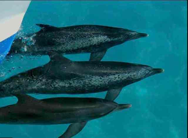 Spotted dolphins, Bahamas, July 15, 2011/Kaitlin Marsh