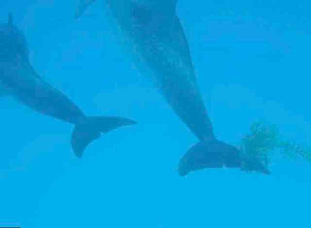 Spotted dolphin with Sargassum on fluke, Bahamas, July 17, 2011/Kaitlin Marsh