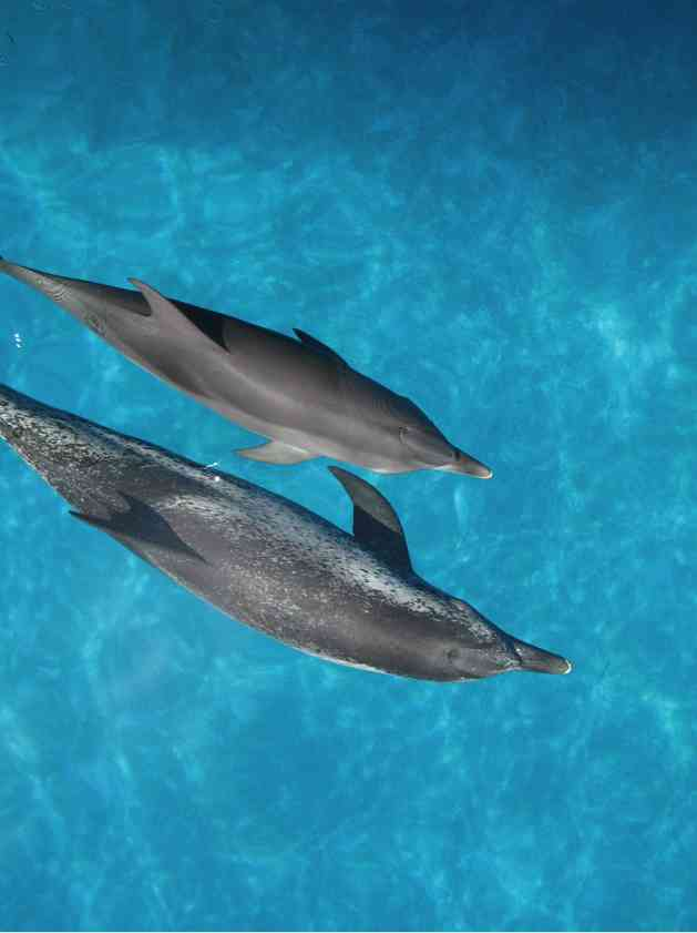 Atlantic spotted dolphins, Bahamas, July 2008/GK Wallace
