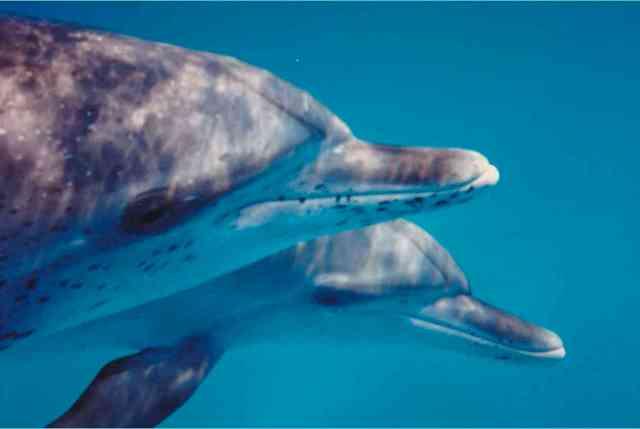 Spotted dolphins, Bahamas, undated/Kathy Tye