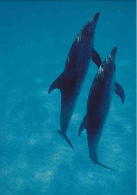 Spotted dolphins, Bahamas, Summer 1989/Craig Murray