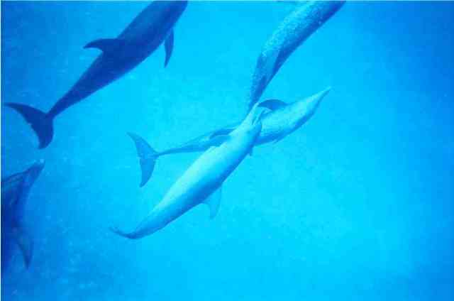 Spotted dolphins, Bahamas, July 2008/GK Wallace