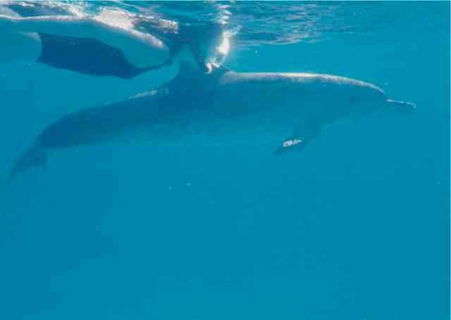 Spotted dolphin & snorkeler, Bahamas, Summer 1989/Craig Murray