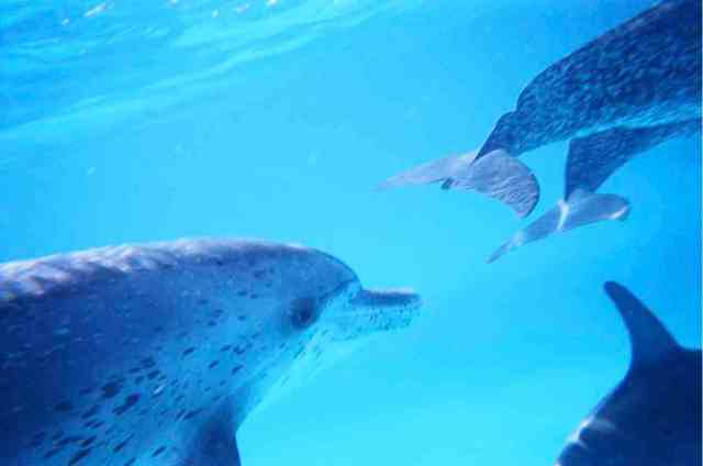 Spotted dolphins, Bahamas, July 2009/GK Wallace