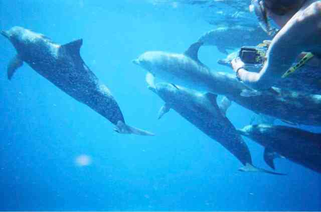 Spotted dolphins & WDP research associate, Bahamas, July 2008/GK Wallace