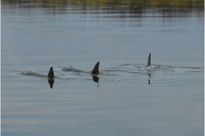 Wayward orcas in Nushagak River, Alaska, undated/Jon Sharp, The Baltimore Sun (10/9/11)