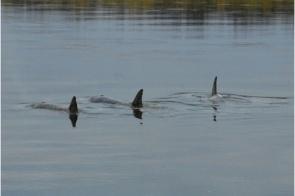 Wayward orcas in Nushagak River, Alaska, undated/Jon Sharp, The Baltimore Sun (10/9/11)