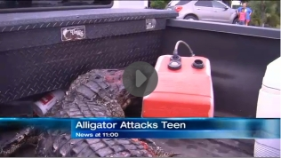 Alligator that bit off part of Kaleb Langdale's right arm, dead in truck, Moore Haven, FL, July 9, 2012/NBC-2.com