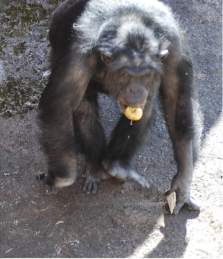 Santino the chimp with apple in mouth and rocks in left hand, Furuvik Zoo, Gävle, Switzerland, undated/Tomas Persson, plosone.org