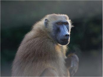 Baboon, undated/Joel Fagot, Science Now, AAAS