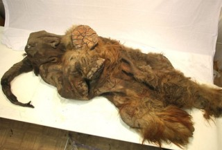 10,000-year-old remains of a 2.5-year-old Woolly Mammoth nicknamed Yuka recently discovered in Siberia, undated/F. Latreille, Mammuthus, MCE, ecorazzi.com