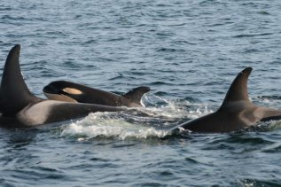 """New baby orca, """"J48,"""" joins J-Pod, Southern Resident Community, Puget Sound, Victoria, BC, Dec 17, 2011/NOAA, Vancouver Sun"""