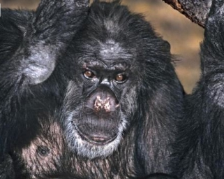 Retired research chimp Booie died this week in an animal sanctuary in L.A./Dave Welling, AP, USA Today