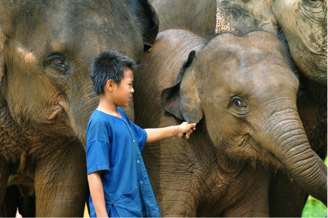 Young mahout among elephants, Chiang Rai, northern Thailand, April 14, 2009/ © Sam Gellman