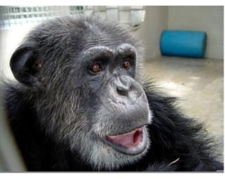 Cheetah, Suncoast Primate Sanctuary, Palm Harbor, FL, undated/Ron Priest, TBO.com