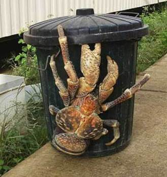 Giant Coconut Crab, Nikumaroro Island, undated/wikimedia, Yahoo! Voices