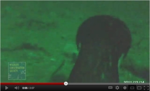 Video still of Imperial Cormorant 150 feet under water, Punta Leon, Patagonia, Dec 14, 2011/WCS.org, youtube.com