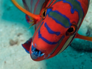 Harlequin Tuskfish, Heron Island, Great Barrier Reef, undated/Caitlin Seaview Survey, nbcnews.com