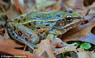 Newly discovered species of leopard frog, undated/Rutgers University, Mail Online